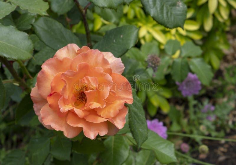 Szczegółowa pomarańcze róża obrazy stock
