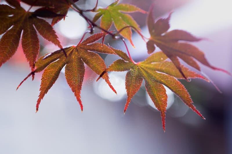 Szczegółowi liście japoński klon z pięknym bokeh zdjęcie stock