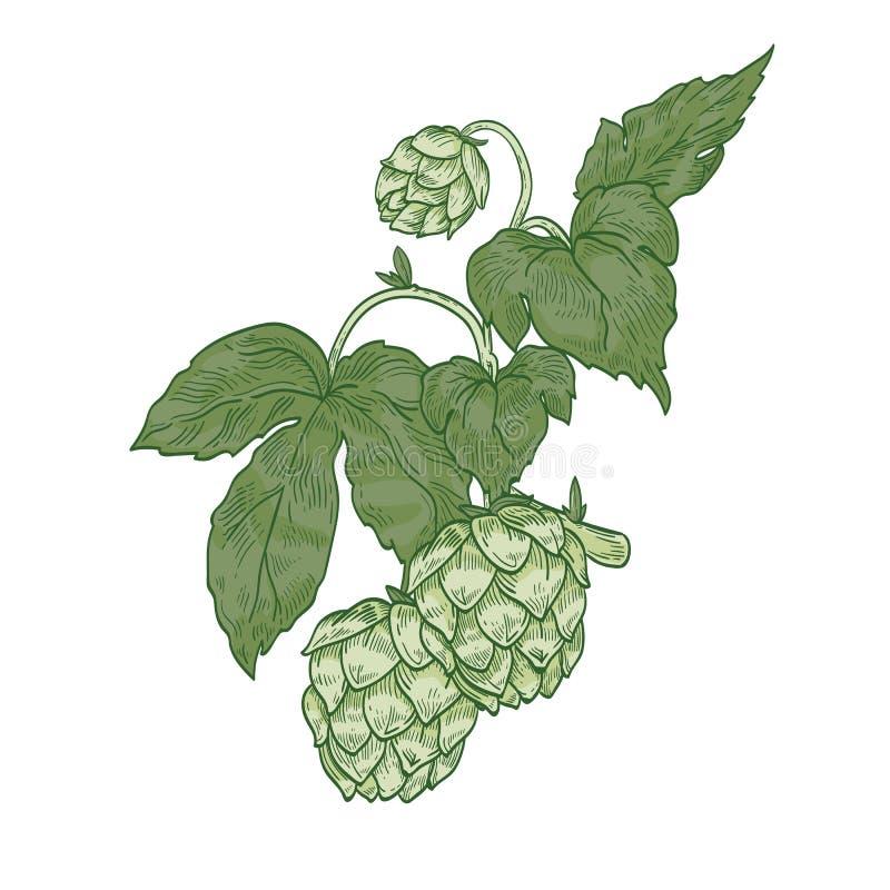 Szczegółowy naturalny realistyczny rysunek chmielu sprig Zieleni kwiatów pączki i liście roślina kultywujący dla piwnego piwowars ilustracji