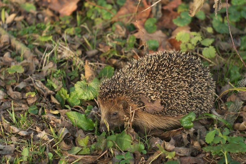Szczegółowy obrazek Europejski jeż w drewnie w wiośnie zaraz po zimy hibernacją lub sen zdjęcia royalty free