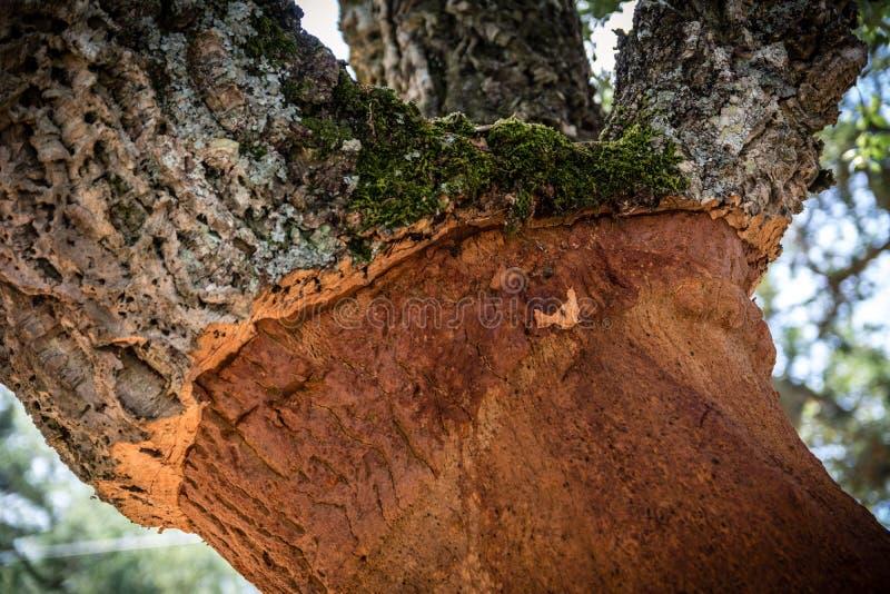 Szczegółowy strzał korkowy dębowy drzewo w Sardinia obraz stock