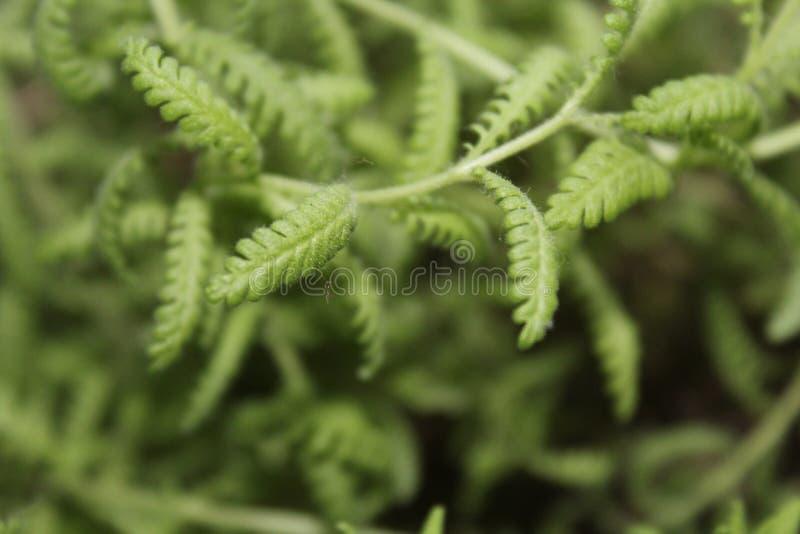 Szczegółowy wibrujący zielony lawendowy zbliżenie fotografia stock