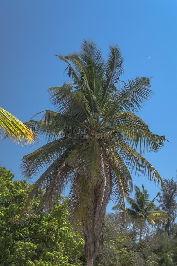 Szczegółowy widok drzewko palmowe na wyspie Mussulo, Luanda, Angola obrazy stock