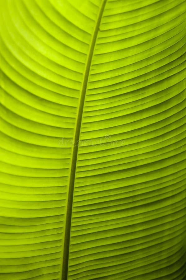 Szczegółowy zakończenie w górę backlit bananowego liścia zdjęcie royalty free