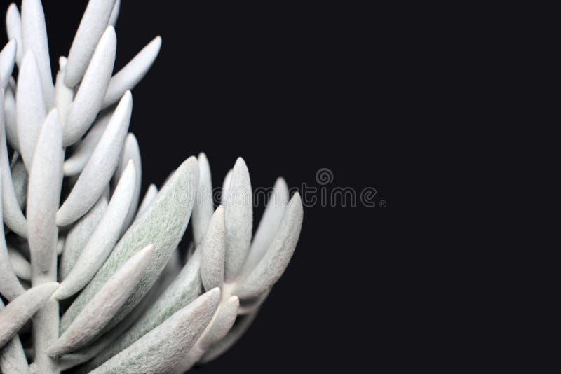 Szczegółowy zakończenie w górę Białego Senecio Haworthii sukulentu puszkował rośliny na ciemnym tle obraz royalty free