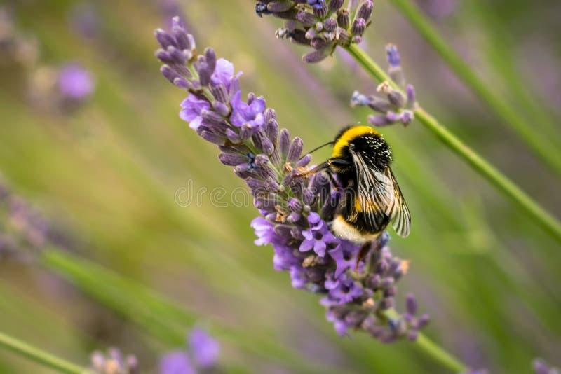 Szczegółowy zdobycz pszczoła, zbiera nektar na lawendowych kwiatach obraz royalty free