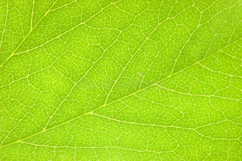 Szczegółowy Zielony liść, Textured Makro- zbliżenie, ampuła Wyszczególniająca Horyzontalna tło tekstury wzoru kopii przestrzeń obrazy royalty free