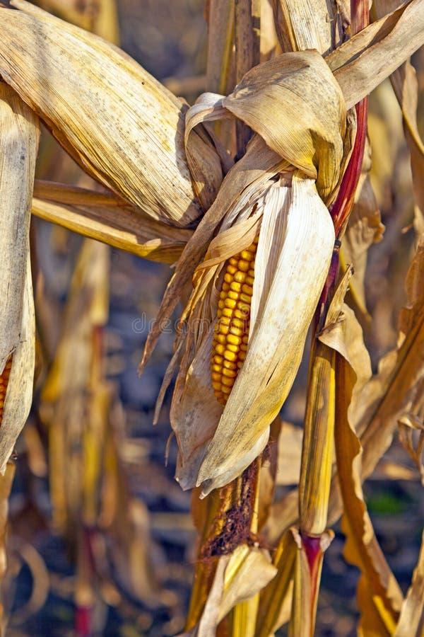 szczegółu kukurydzany hindus obraz royalty free