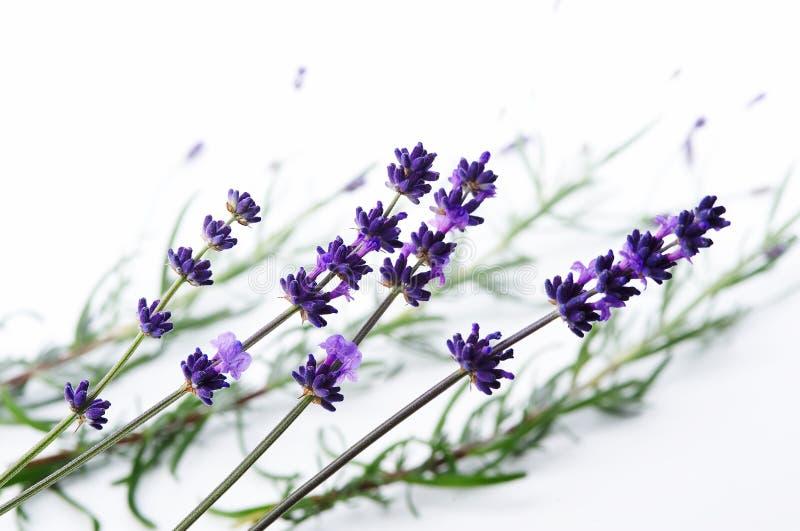 szczegółu kwiatu lawenda obrazy royalty free