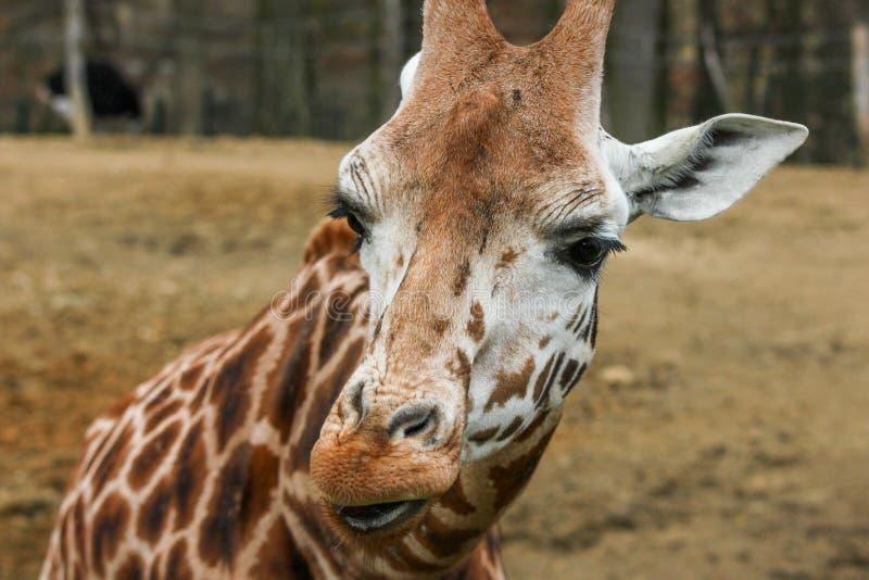 Szczegółu obrazek giraffekierowniczy zdjęcia royalty free