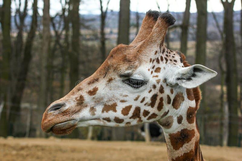 Szczegółu obrazek giraffekierowniczy obraz royalty free