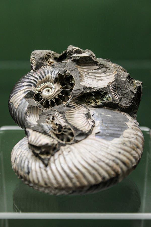 Szczegółu obrazek skamielina obrazy stock