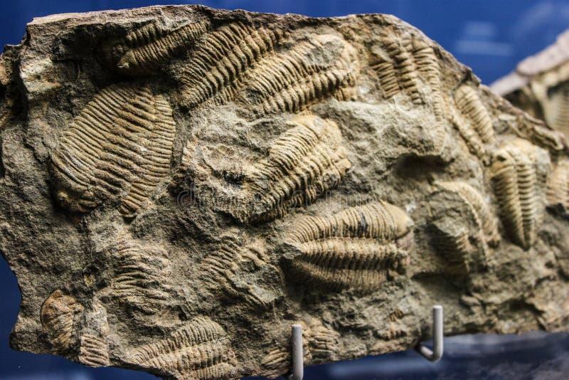 Szczegółu obrazek skamieniali trylobity zdjęcia stock