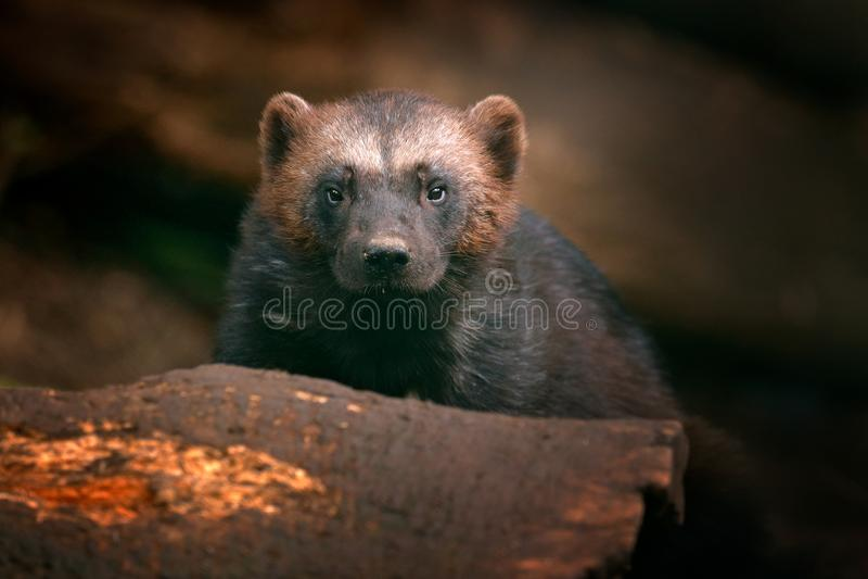 Szczegółu portret dziki rosomak Twarz portret rosomak Działający mocny rosomak w Finlandia tajdze Niebezpieczeństwa zwierzę w obraz royalty free