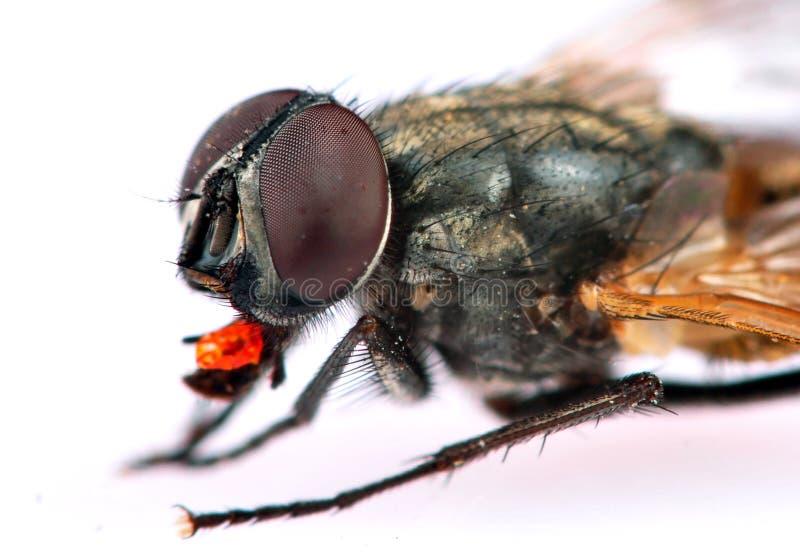 szczegółu pospolity housefly obrazy stock