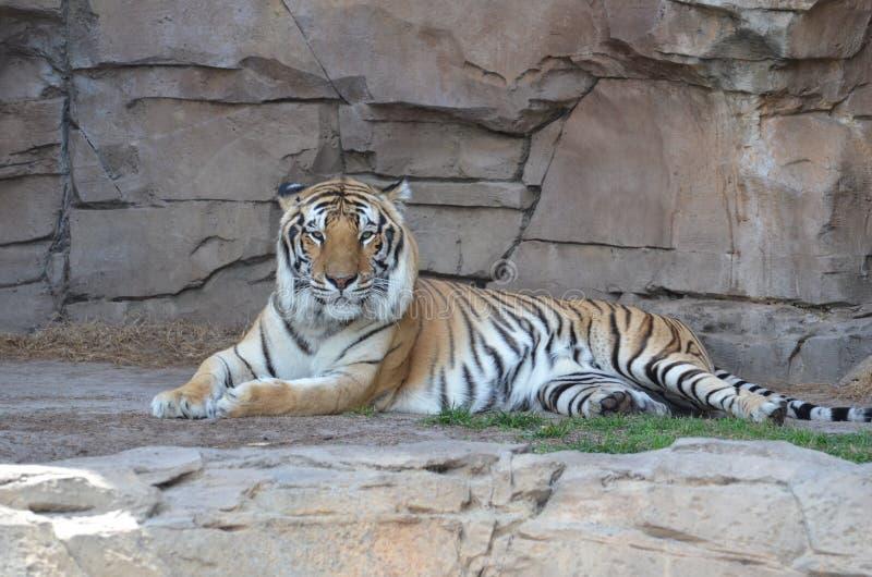szczegółu tygrys kierowniczy odpoczynkowy obraz royalty free