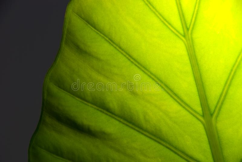 Szczegółu zielony liść