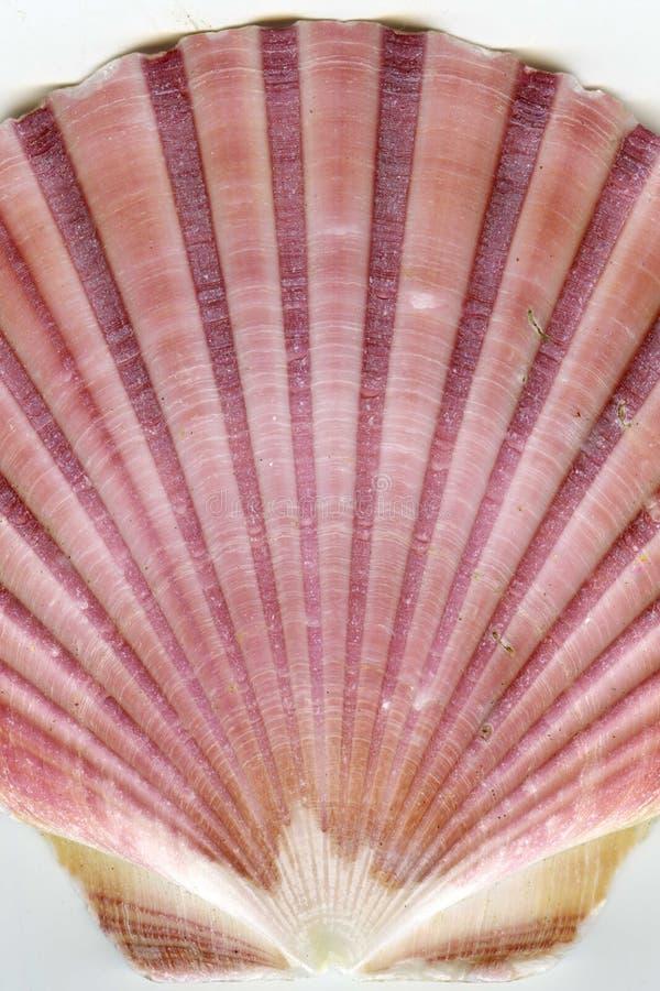 Szczegóły łupiny morskiej różowej zdjęcia royalty free