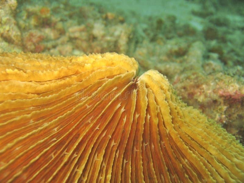 szczegóły coral grzybek obraz stock