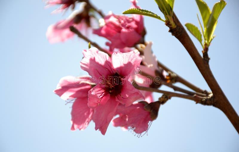 Szczegóły dziki kwitnie brzoskwini drzewo fotografia stock