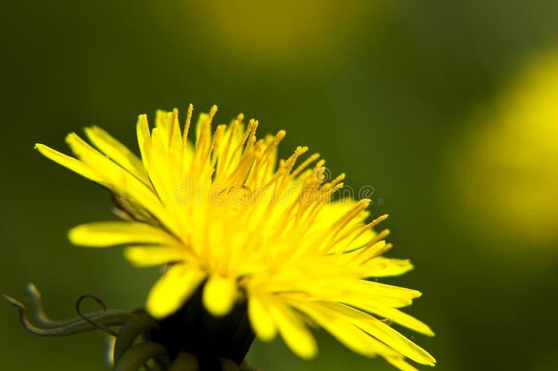 szczegóły mniszek kwiat zdjęcie royalty free