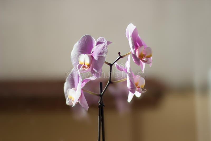 Szczegóły piękna biała i różowa orchidea fotografia stock