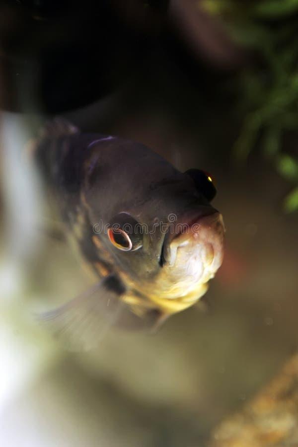 Szczegóły rybia twarz obrazy stock