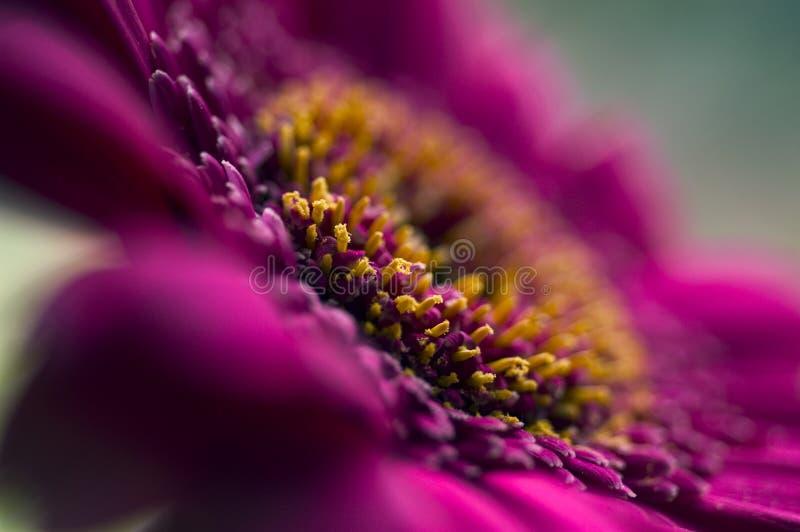 szczególne kwiat purpurowy zdjęcia royalty free