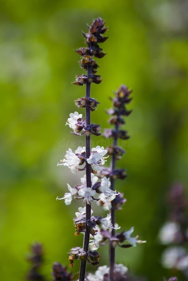 Szczeg?? basila kwiat, Ocimum basilicum, organicznie siaj?cy w plenerowym ogr?dzie w Antigua Gwatemala, Ameryka ?rodkowa zdjęcia stock