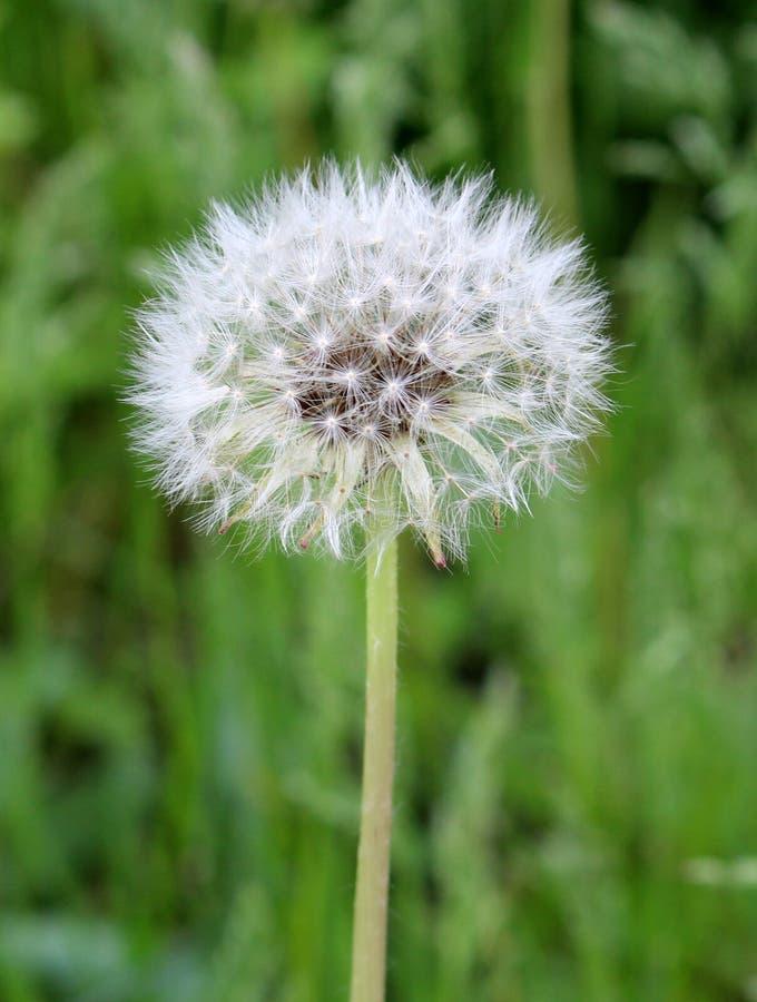 Szczeg?? jeden kwiatono?ny dandelion na zielonym tle obraz stock