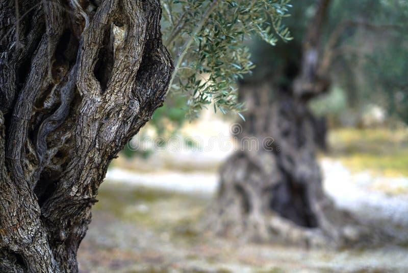 szczeg?? stary drzewo oliwne baga?nik obrazy royalty free