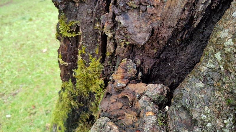 2 szczekać drzewo zdjęcie royalty free