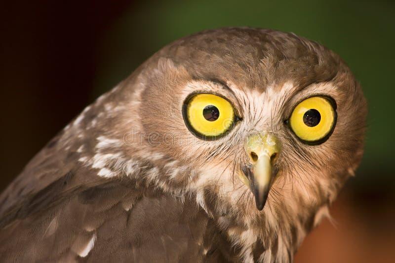 szczekliwa sowa fotografia stock