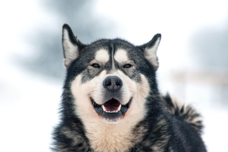 Szczekliwy husky pies fotografia stock