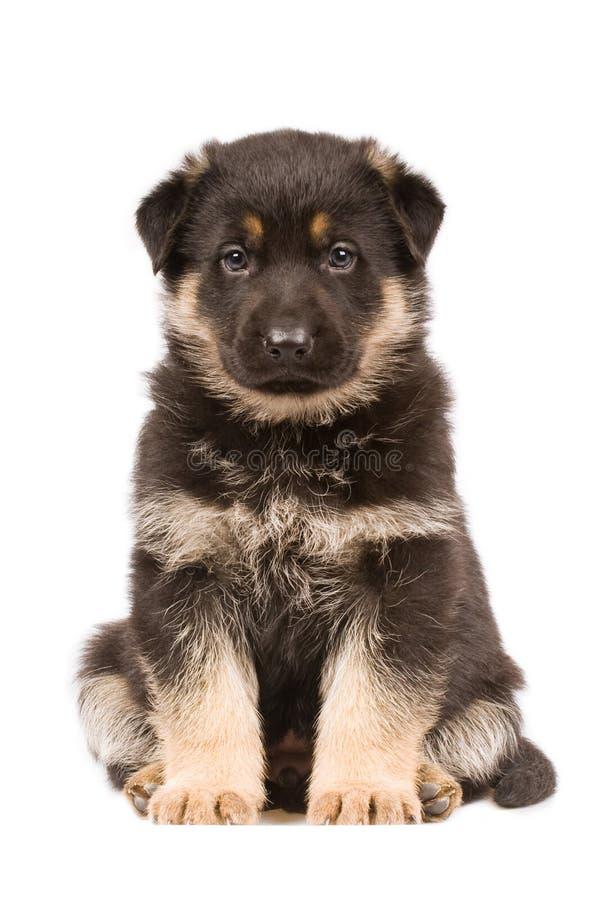 szczeniaków czarny sheepdogs obraz stock
