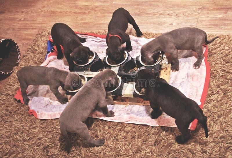 Szczeniaków jeść obraz stock
