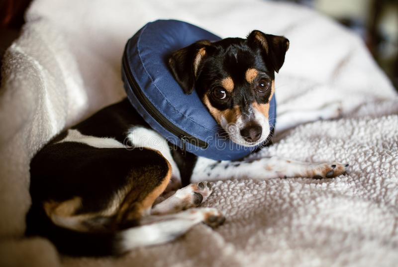 Szczeniak jest ubranym błękitnego powiększenie rożek wstydu psi kołnierz obrazy royalty free