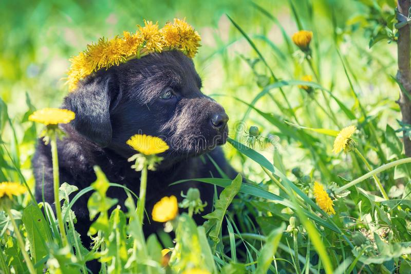 Szczeniak jest ubranym dandelion wianku obsiadanie na trawie obraz stock
