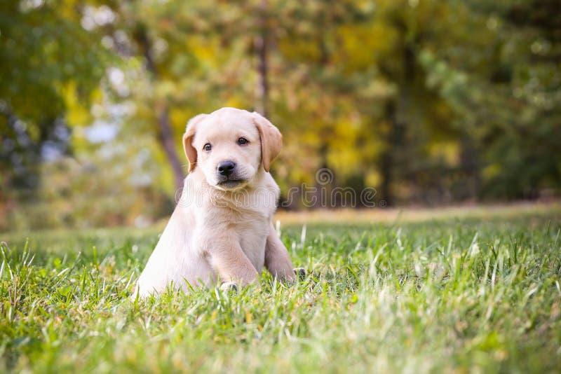 szczeniak labradora fotografia stock