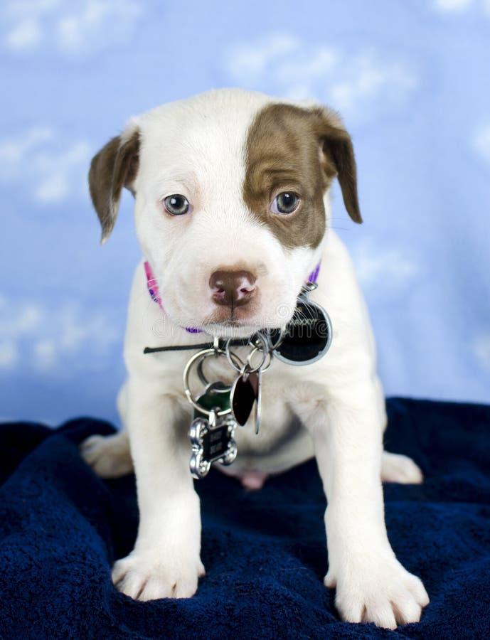 Szczeniak mieszający trakenu pies z id wścieklizn i etykietek etykietką obrazy royalty free
