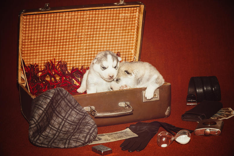Szczeniak otaczał podróżnik rzeczy Rocznik fotografii szczeniak krzepki siberian Wiek 2 tygodnia obraz royalty free
