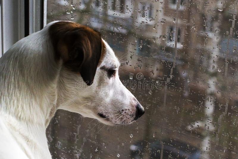 Szczeniak przyglądający out okno na zewnątrz deszczu, zdjęcie stock