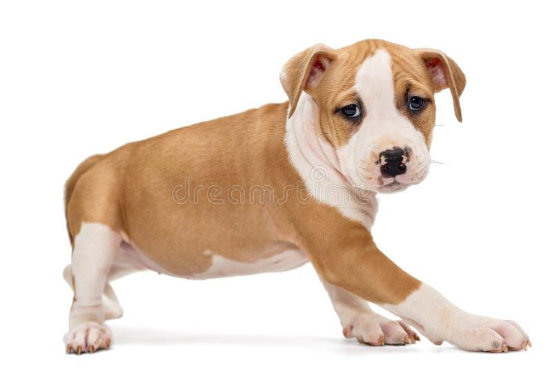 Szczeniak Staffordshire Terrier fotografia stock