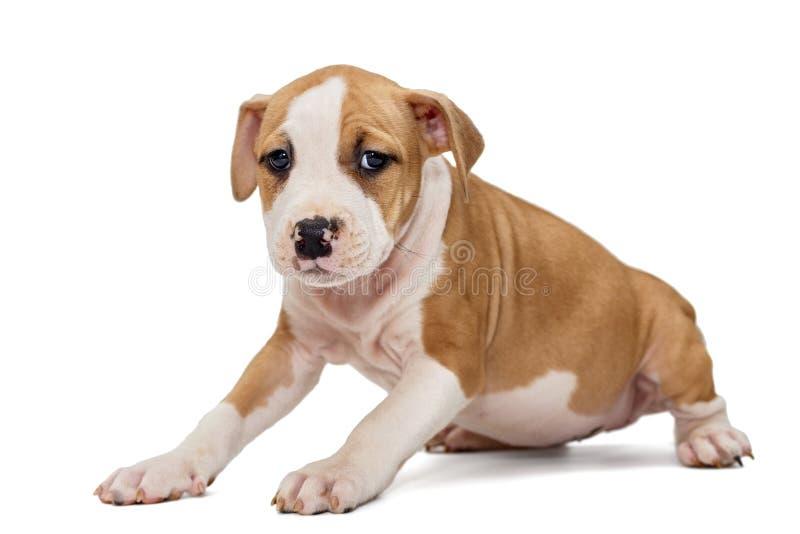 Szczeniak Staffordshire Terrier zdjęcia stock