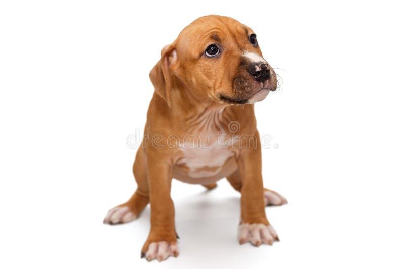 Szczeniak Staffordshire Terrier fotografia royalty free