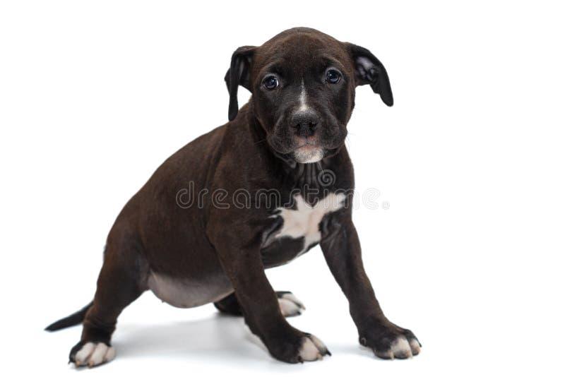 Szczeniak Staffordshire Terrier obraz stock