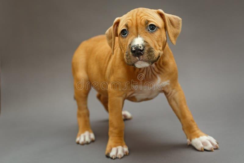 Szczeniak Staffordshire Terrier obrazy royalty free