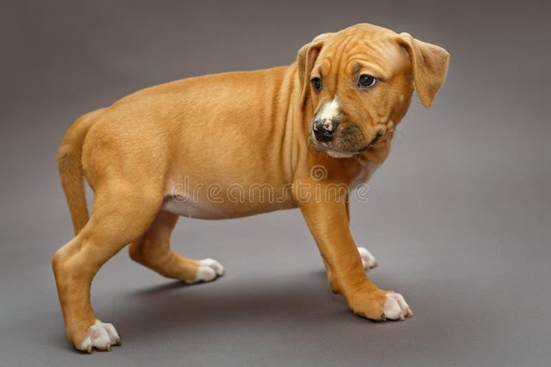 Szczeniak Staffordshire Terrier zdjęcia royalty free