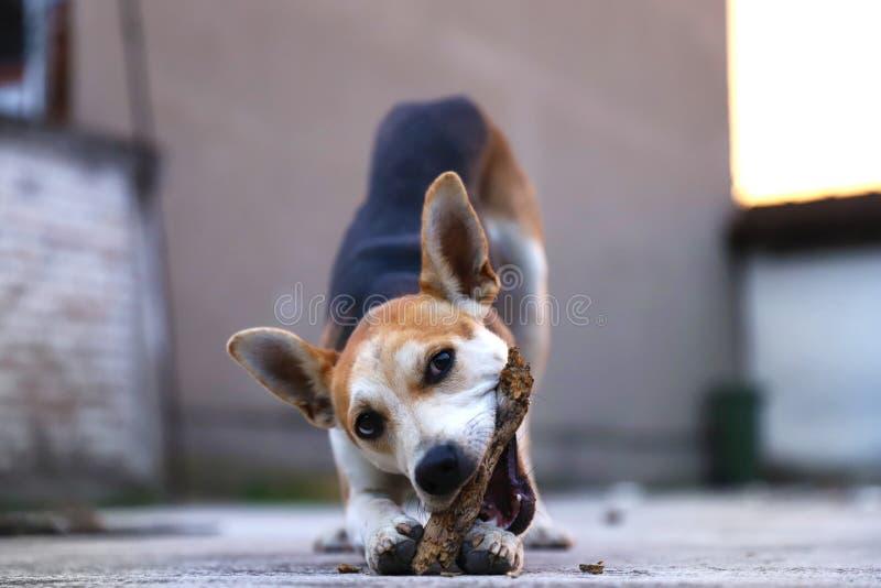 Szczeniak sztuka w jardzie z przynosi kij i jest szczęśliwa, adoptowany pies dostaje lepszy zdjęcie royalty free