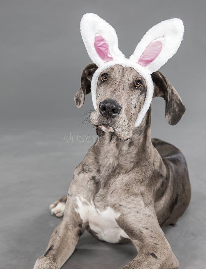 Szczeniak zamknięty up w królików ucho obrazy stock